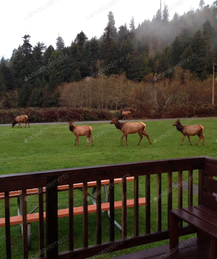 Early morning visitors in Humboldt County