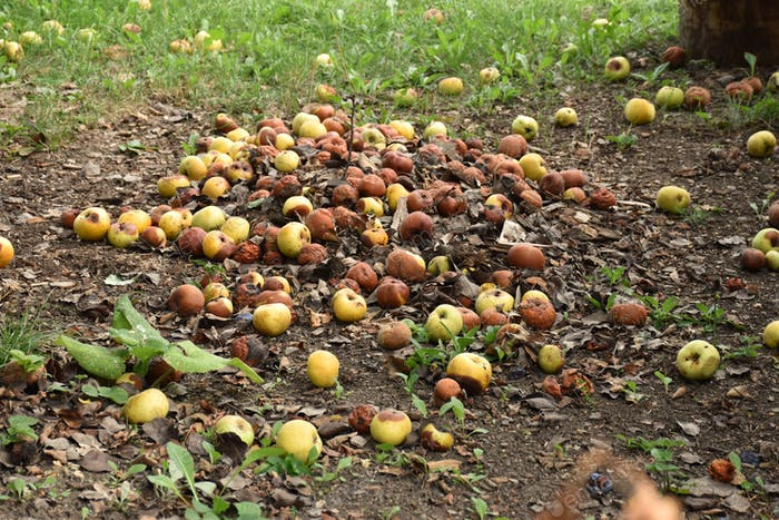 Rotten apples on the ground