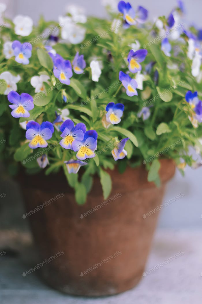Pansies in a terracotta pot