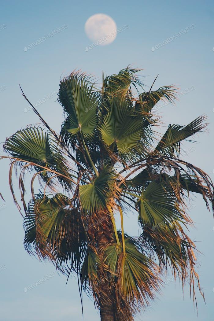 Tropische mexikanische Fan Palm mit der romantischen Urlaubsvibe Mond während des Tages