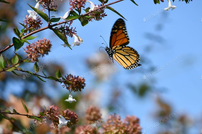 Orange Monarch butterfly flying to the flower on a bush.