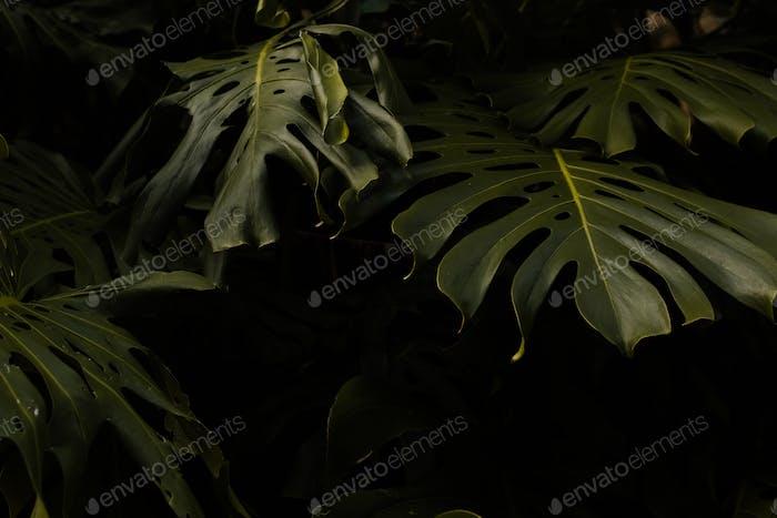 Tropical Monstera Leaves