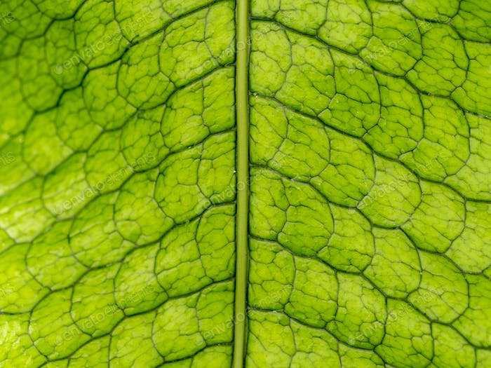 The texture and nerves of a leaf