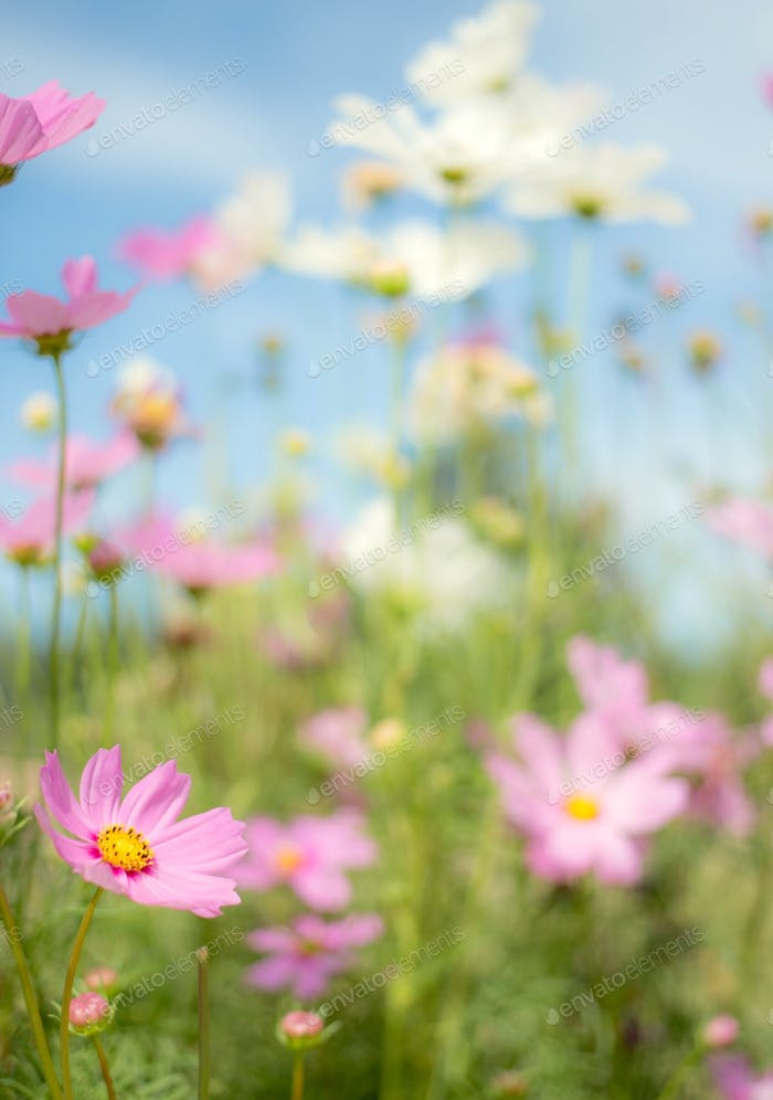Spring vibes .. cosmos