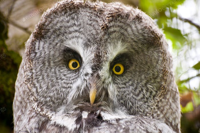 Great Grey Owl looking intensely into the camera