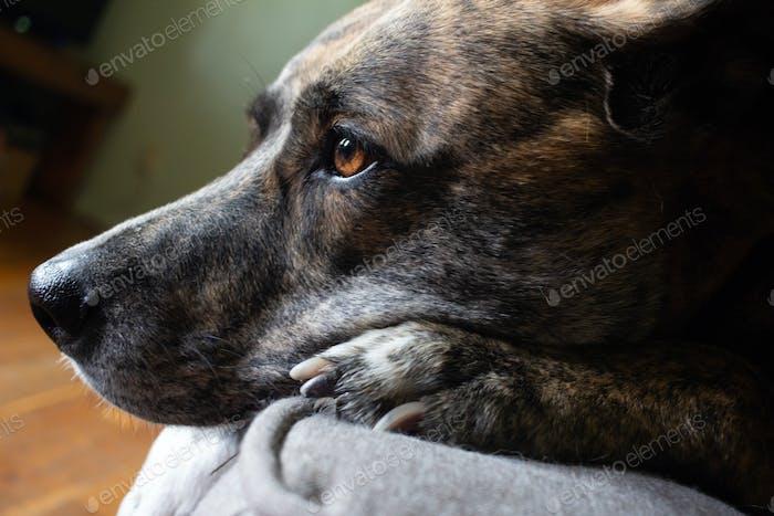 Plott hound brindle dog