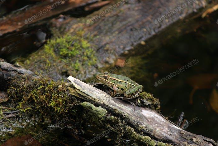 Wisconsin frog