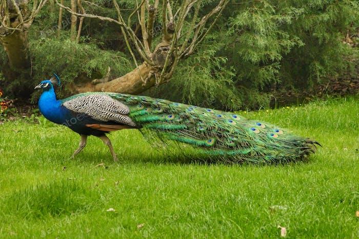 Peacock profile