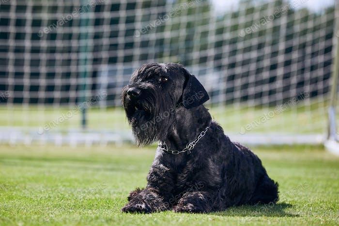 Portrait of Giant Schnauzer. Large purebred dog posing in soccer goal.