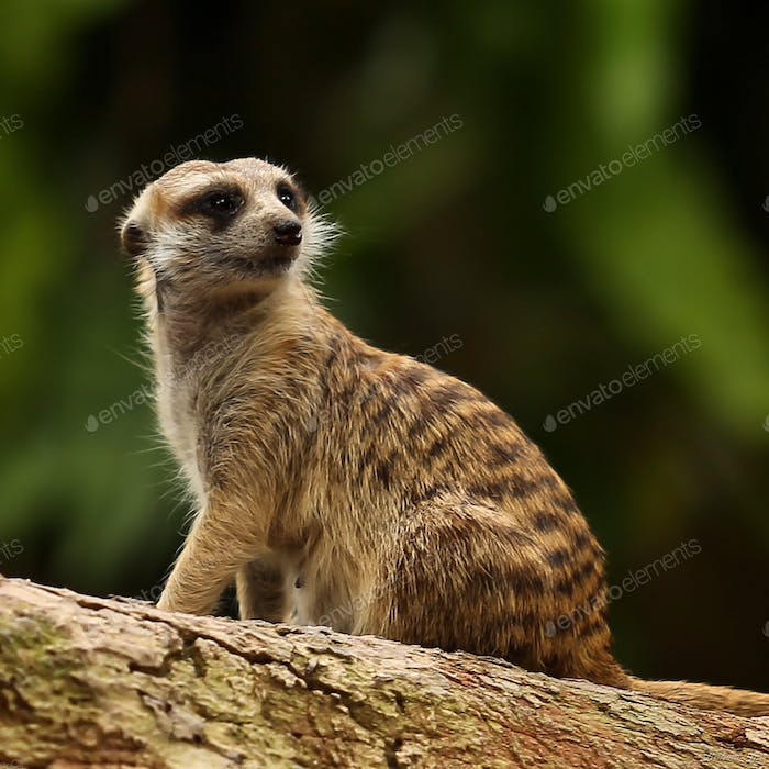 Spotted a  nicely poised Meerkat at a recent trip to Singapore Zoological Gardens