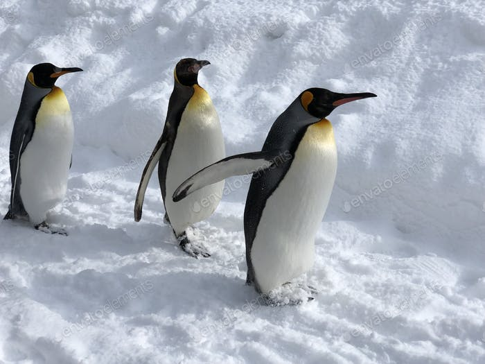 King penguins 🐧 marching on!