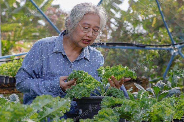 Senior woman looking dow kale leaf in the garden, weekend activities.