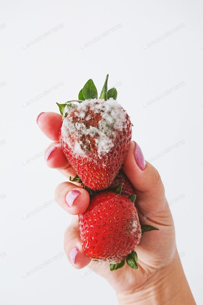 Closeup of rotten moldy strawberry in female hand isolated on white background