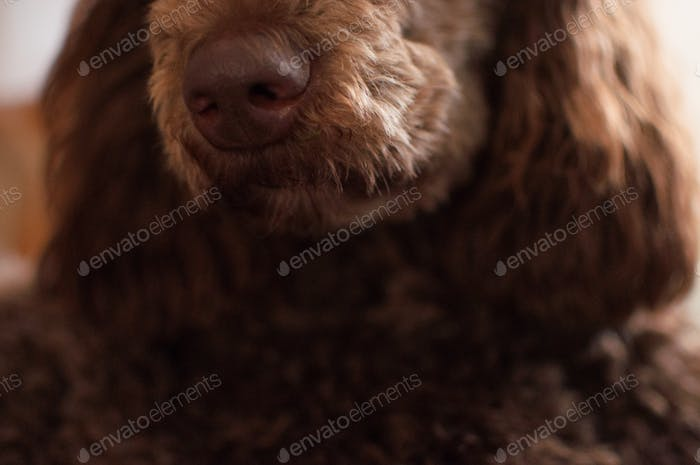 Brown poodle nose