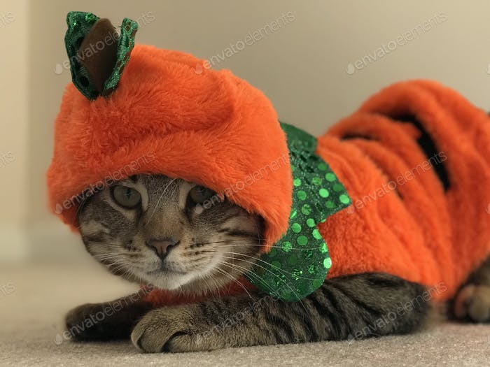 Tabby cat dressed up as a pumpkin for Halloween