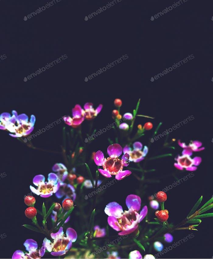 Dramatic photo of purple flowering branches against a dark indigo background.