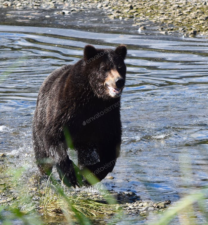 Grizzly bear charging up the creek towards us- luckily two rangers with us shooed them around us. 😁