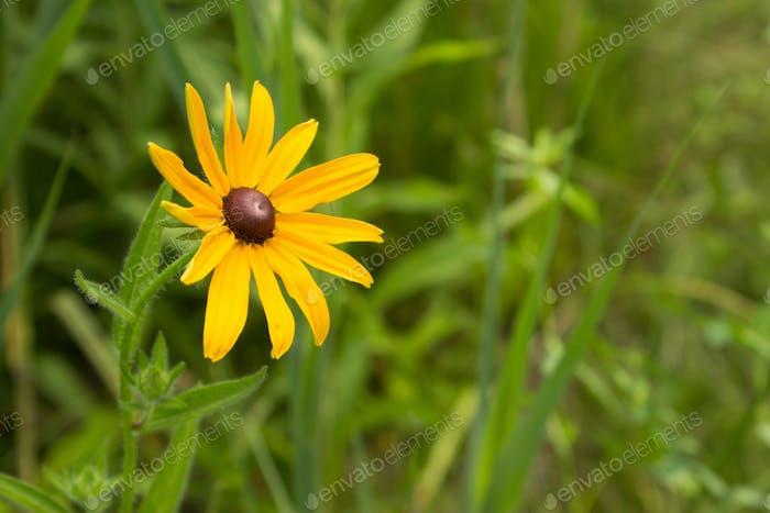 Leuchtend gelbe Schwarz-Augen Susan Blooming